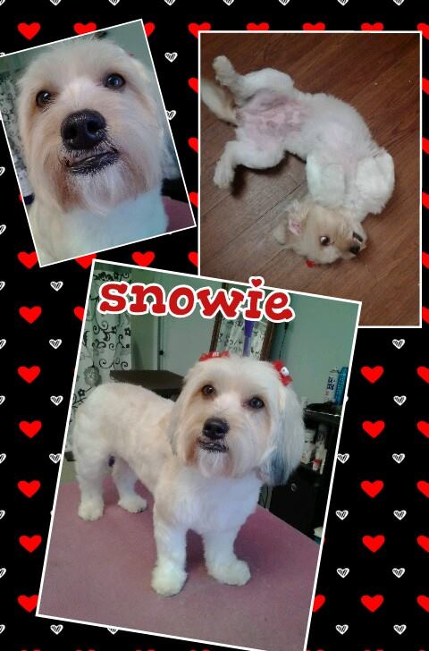 Antoine's Sugar Dog Snowie
